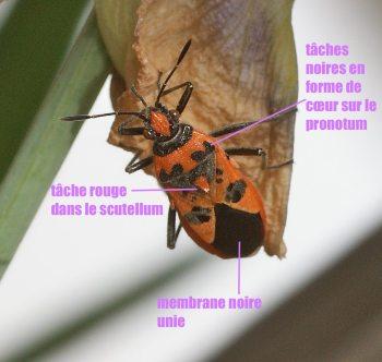 Corizus hyoscyami