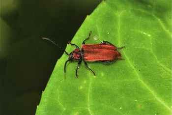 Callidie rouge sang