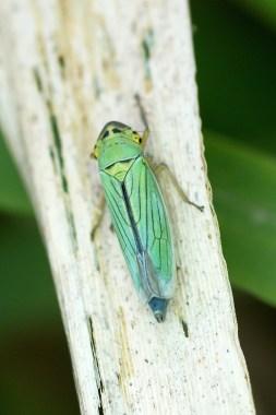 la cicadelle verte