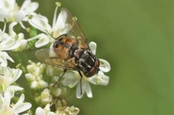 Graphomya maculata, mâle