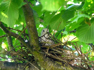 nid-tourterelle-turque