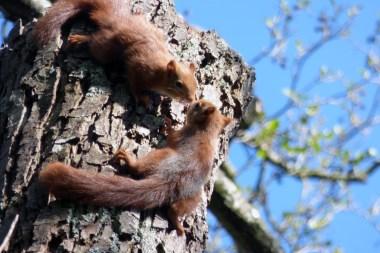 Ecureuil roux partiellement gris