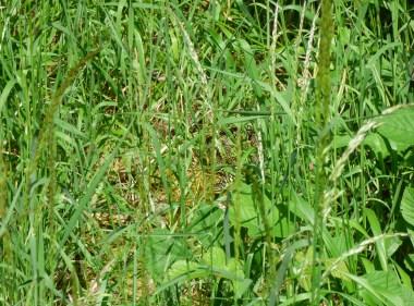 Couleuvre verte et jaune dissimulée dans la végétation