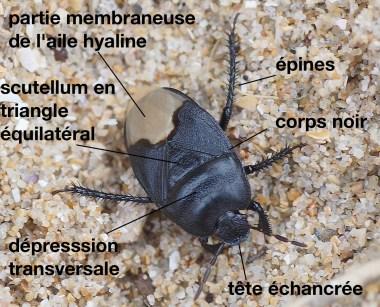 cydnus-aterrimus