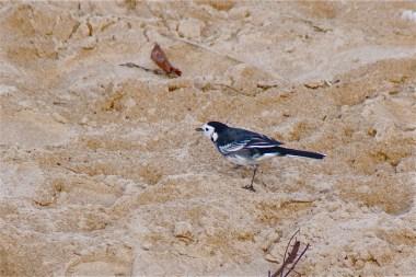 Motacilla alba yarrellii