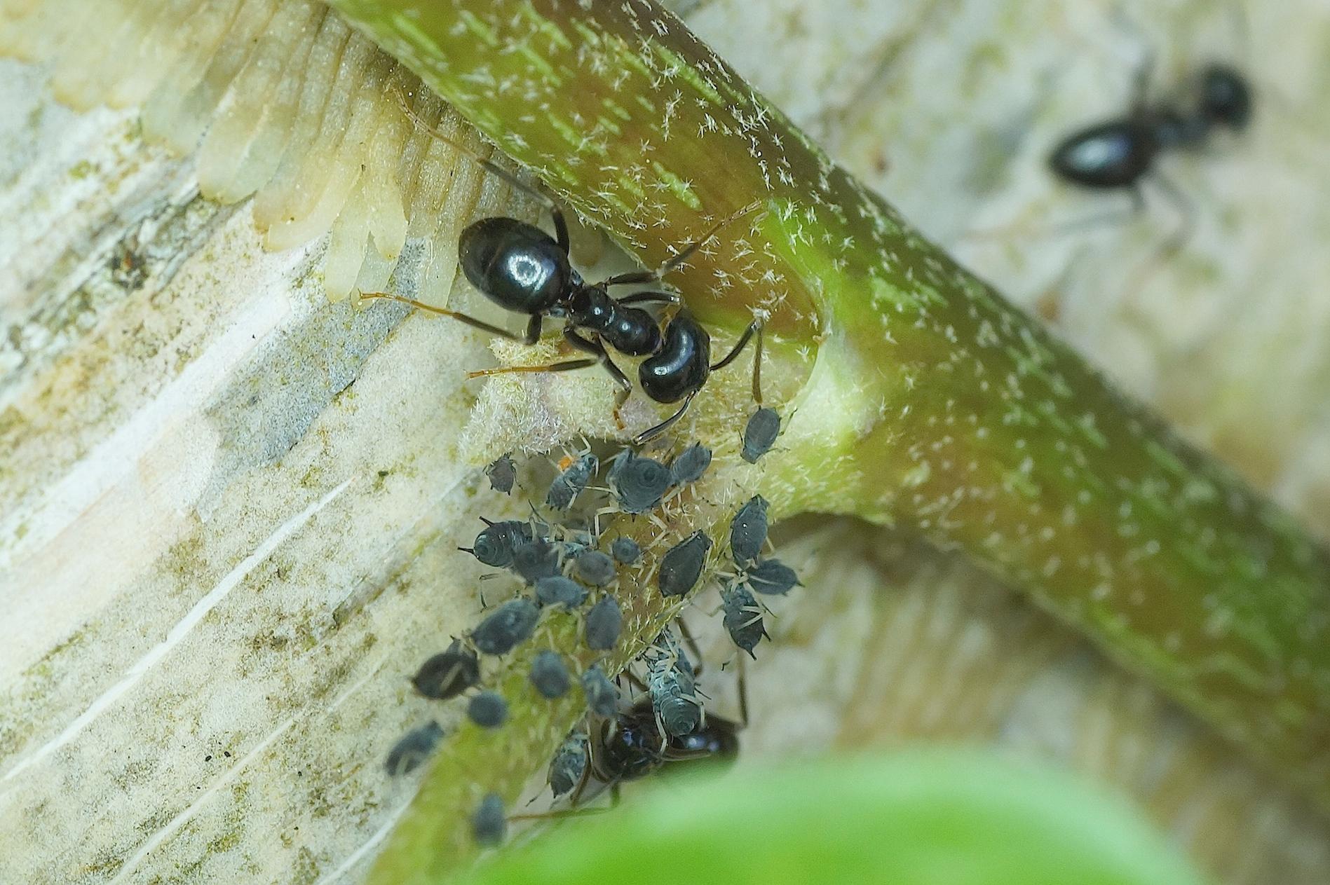 Grosses Fourmis Noires Dans Le Jardin la fourmi noire des bois - hyménoptères - quel est cet animal ?
