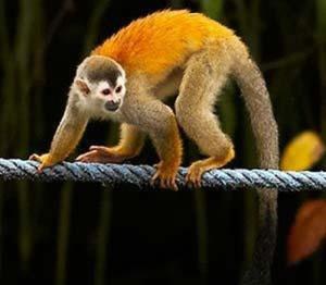 Titi on a Monkey Bridge