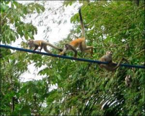 monkeys-crossing-bridge-over-hotel