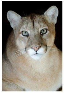 Puma Concolor – photo by Alan Olander