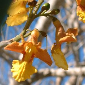 Gmelina arborea flower