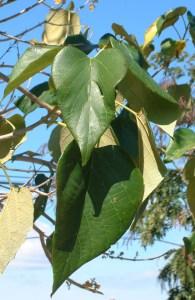 Gmelina arborea leaves
