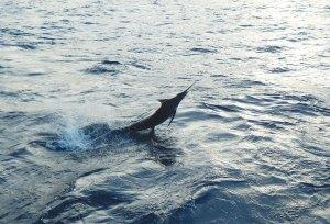 Caught Sailfish