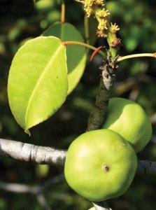 Hippomane macinella fruit