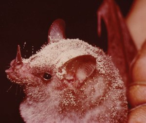 Glossophaga alticola - Nectar-eating bat covered in pollen
