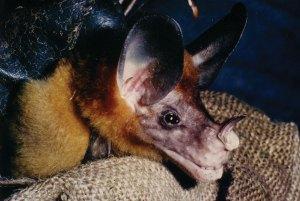 Vampyrum spectrum - False Vampire Bat