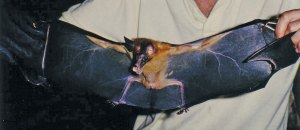 False vampire bat with wings spread