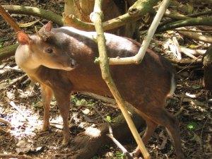 Red Brocket Deer — Mazama americana