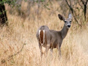 White-tailed Deer — Odocoileus virginianus