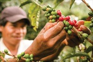 "Picking the ripe coffee beans , ""cherries"""