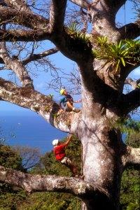 Climbing a ceiba