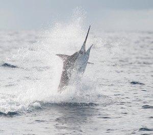 Breaching Marlin