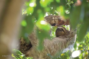 Mom sloth looking out for her baby