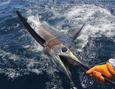 Blue marlin are strictly Catch & Release here
