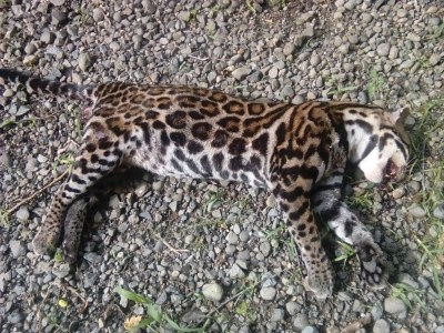 Dead ocelot on the road