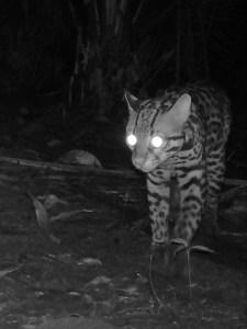 Immature ocelot at night