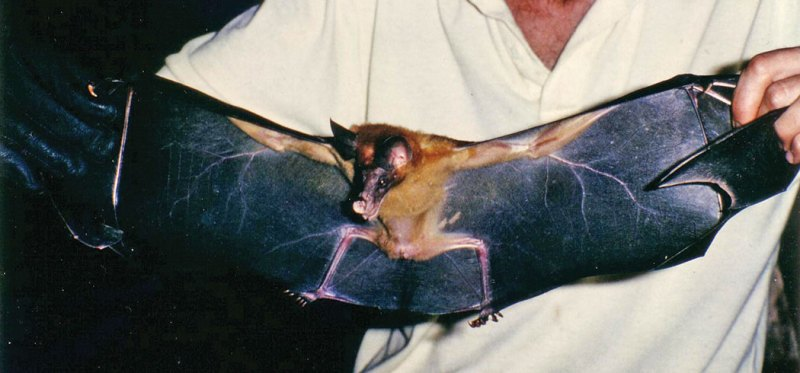 False Vampire Bat