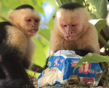 Two monkeys eating a loaf of bread