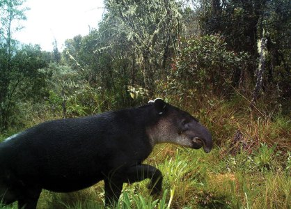 Tapir emerging from a river