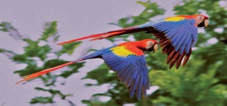 Pair of flying macaws