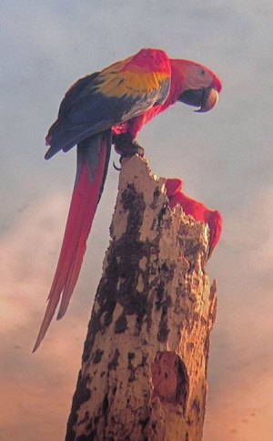 Pair of macaws hunting for a nest
