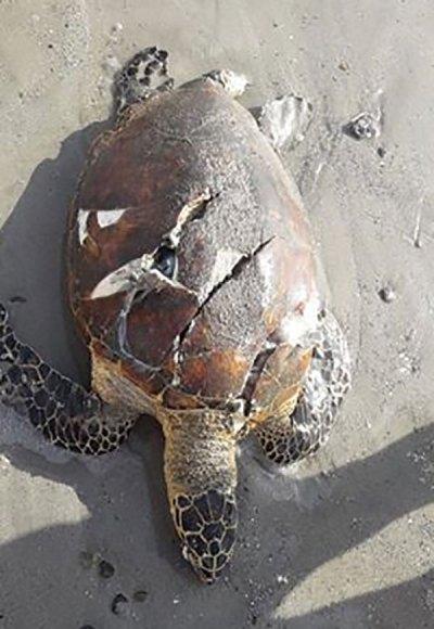 Dead Hawksbill turtle