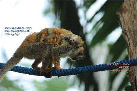 Titi monkey using a bridge
