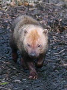 Single bush dog in the forest