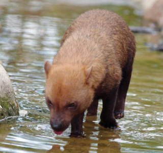 Bush dog in a river