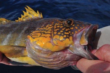 Large yellow fish