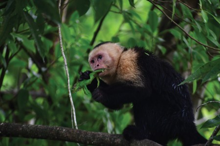 Capuchin eating a green iguana