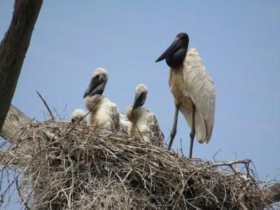 Jabiru stork with chicks