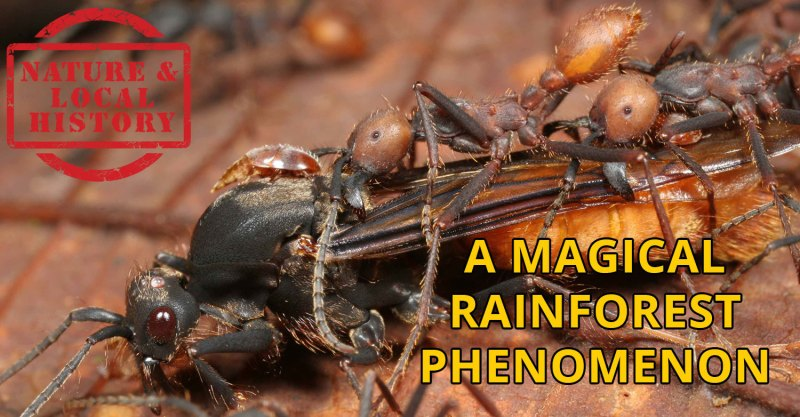 HEADer, Army ants attacking a large wasp