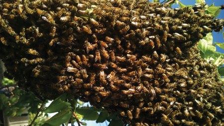 Large hanging swarm of bees