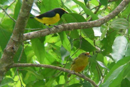 Pair of Yellow Crowned Euphonias