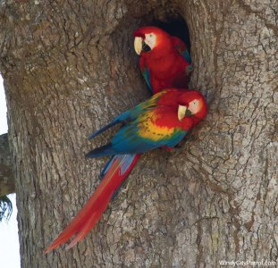 2 macaws nesting in a tree cavity