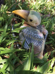 VERy young toucan growing feathers
