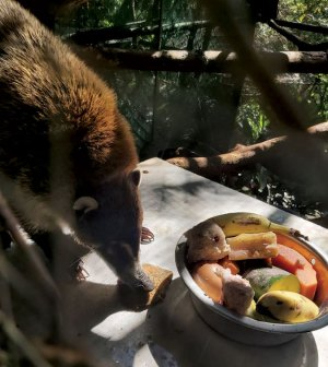 Coati on a picnic table