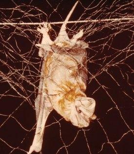 Bat caught in a net