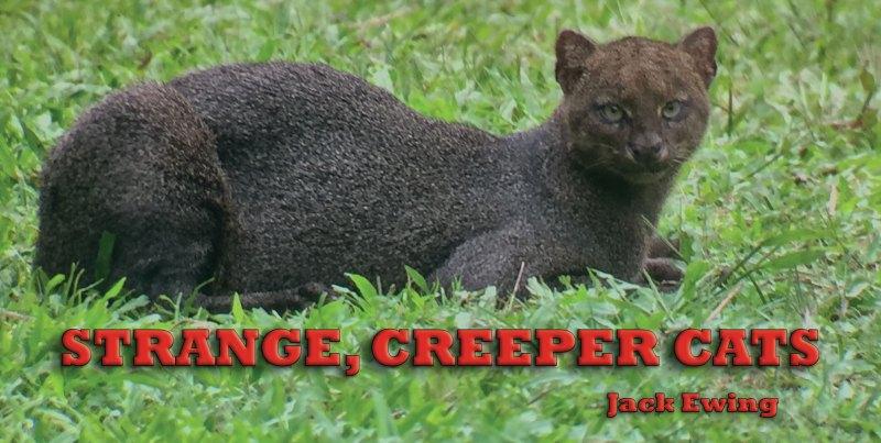 Strange Creeper Cats header
