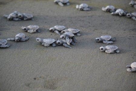 Turtles heading toward surf